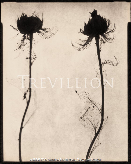 Andrew Sanderson DRIED DECAYING FLOWERS Flowers
