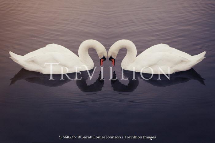 Sarah Louise Johnson TWO WHITE SWANS ON WATER Birds