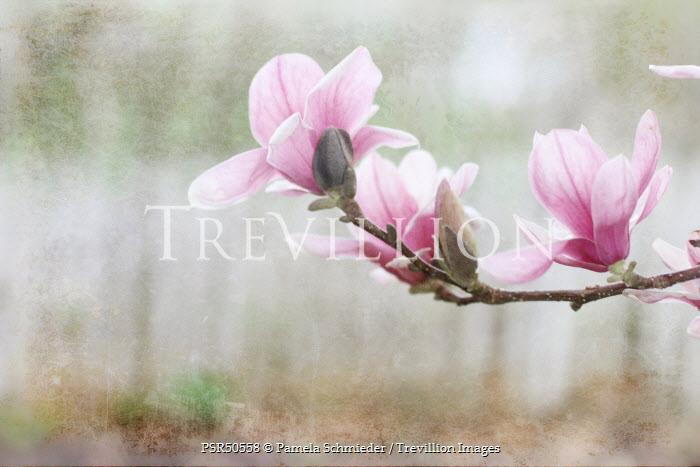 Pamela Schmieder MAGNOLIA FLOWERS ON BRANCH Flowers/Plants