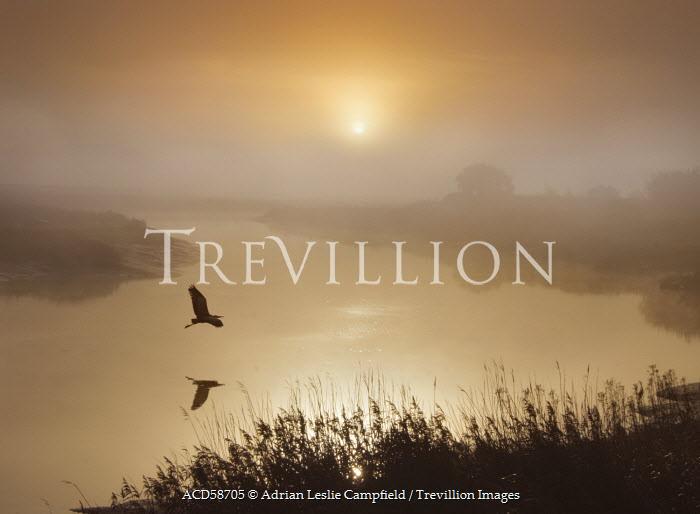 Adrian Leslie Campfield HERON FLYING OVER RIVER AT SUNRISE Birds
