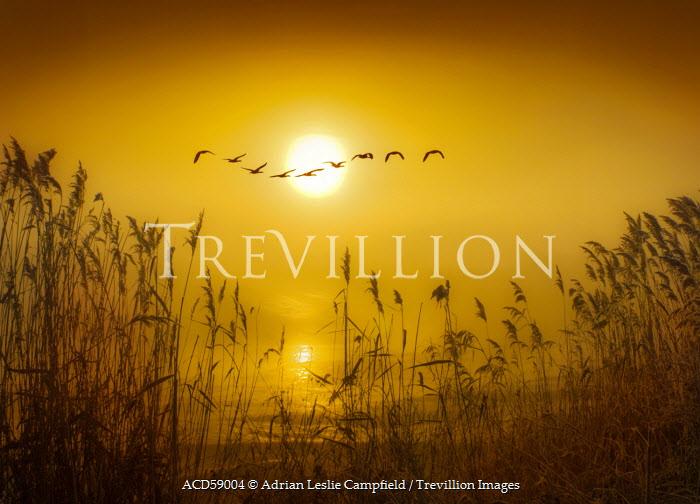 Adrian Leslie Campfield GULLS LYING OVER REEDS AT SUNRISE Birds