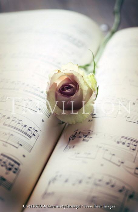 Carmen Spitznagel ROSE LYING ON SHEET MUSIC Flowers