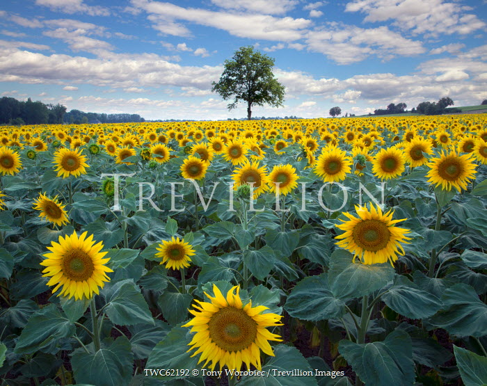 Tony Worobiec FIELD OF SUNFLOWERS IN COUNTRYSIDE Flowers/Plants
