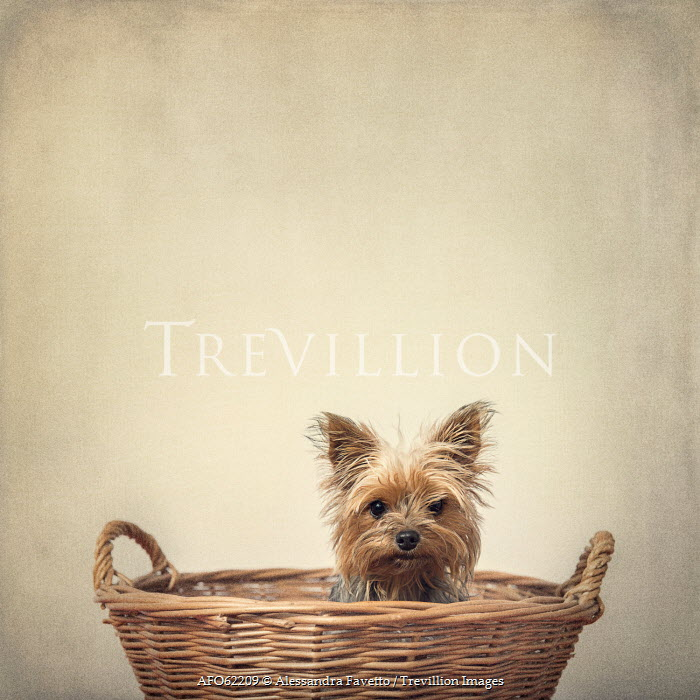Alessandra Favetto SMALL DOG IN BASKET INSIDE Animals