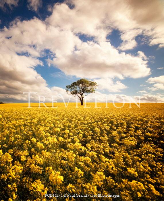Paul Grand DISTANT TREE IN YELLOW FLOWER FIELD Fields