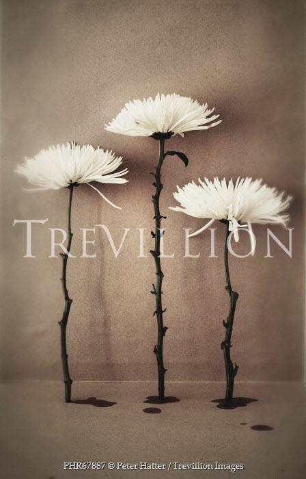 Peter Hatter THREE WHITE FLOWERS Flowers