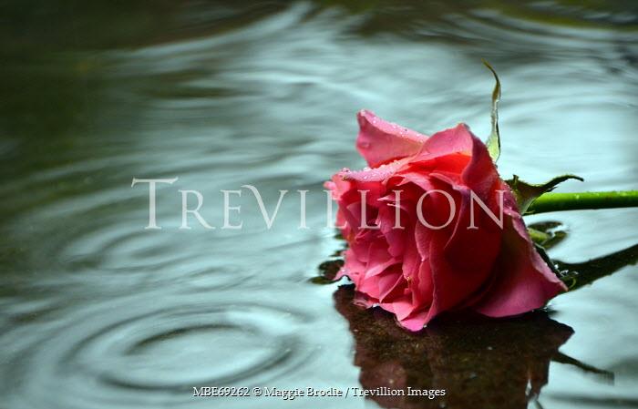 Maggie Brodie PINK ROSE LYING IN WATER OUTSIDE Flowers
