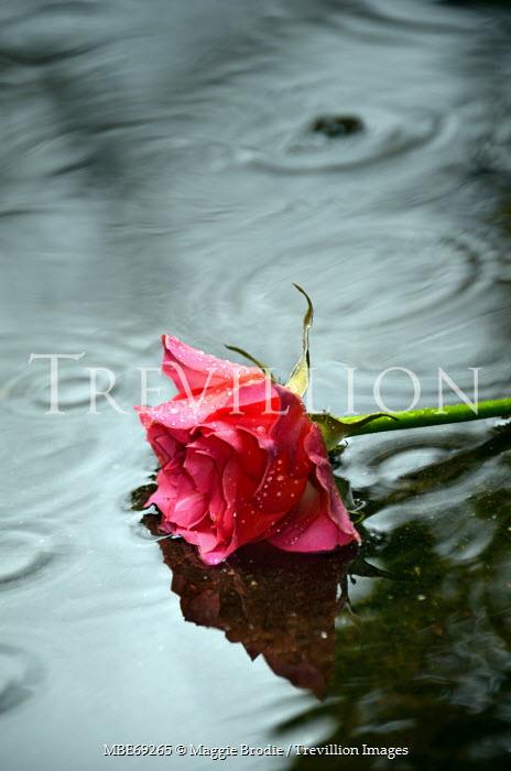 Maggie Brodie PINK ROSE LYING IN RAIN PUDDLE Flowers