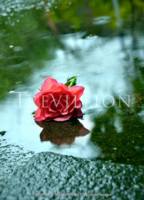 Maggie Brodie PINK ROSE LYING IN PUDDLE OUTSIDE Flowers