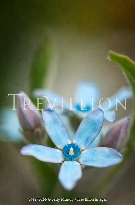 Sally Mundy Blue Milkweed flowers Flowers/Plants
