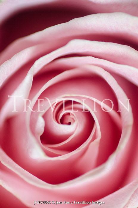 Jean Fan CENTRE OF PINK ROSE FLOWER Flowers