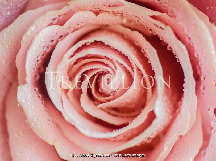 Jean Fan PINK ROSE FLOWER COVERED IN DEWDROPS Flowers