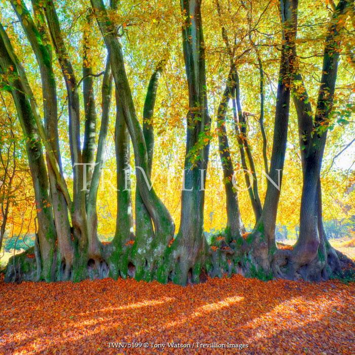 Tony Watson Beech trees in autumn Trees/Forest