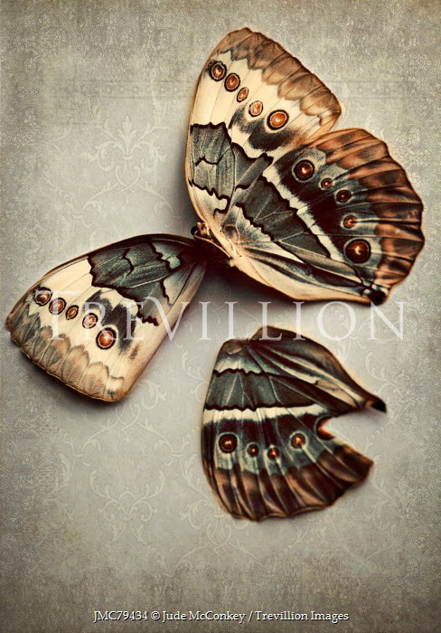 Jude McConkey PATTERNED BUTTERFLY WITH TORN WING Insects