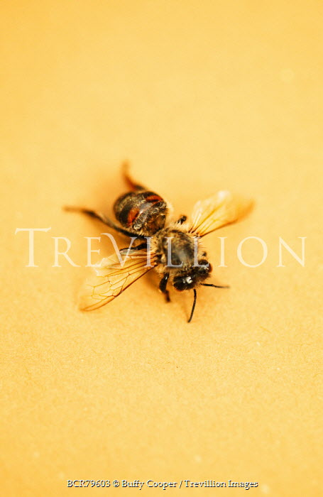 Buffy Cooper HONEY BEE ON YELLOW BACKGROUND Insects