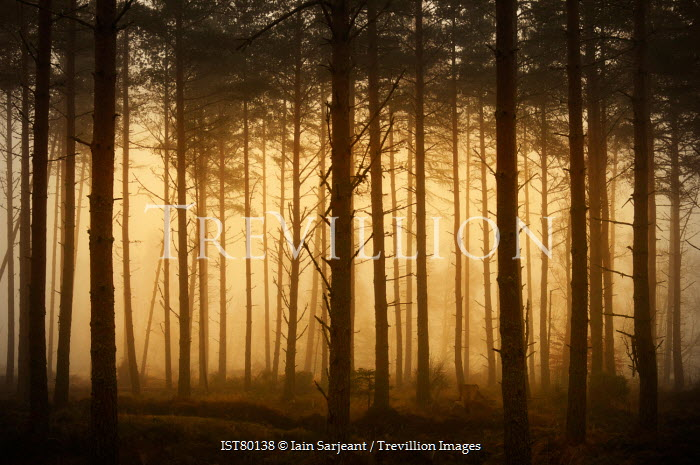 Iain Sarjeant MISTY FOREST AT DUSK Trees/Forest