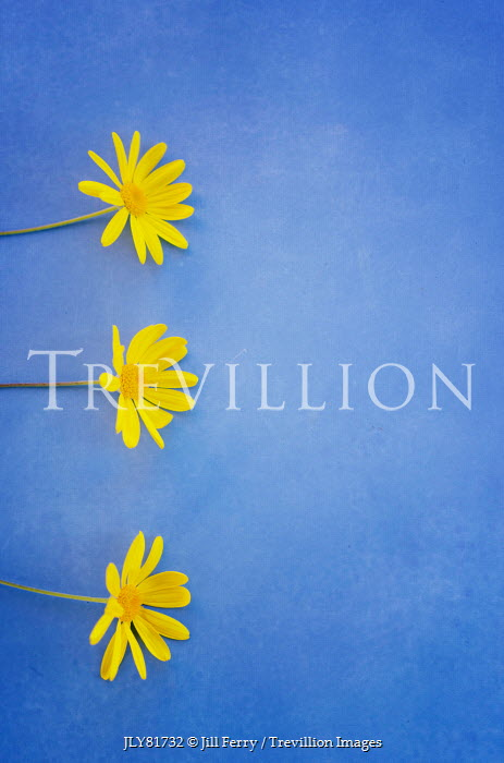 Jill Ferry THREE YELLOW FLOWERS ON BLUE BACKGROUND Flowers
