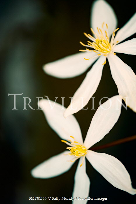 Trevillion images the ultimate creative stock photography sally sally mundy two white flowers with yellow centre flowers mightylinksfo