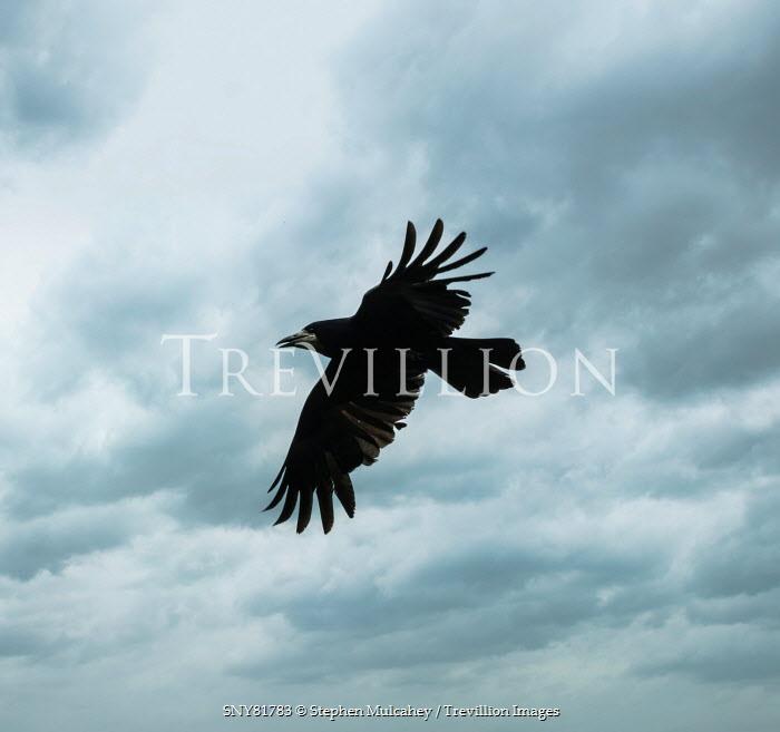 Stephen Mulcahey crow flying through cloudy sky Birds