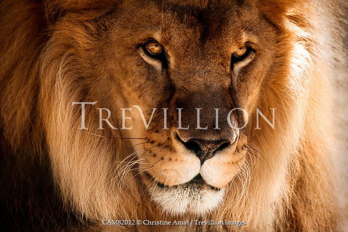 Christine Amat WILD MALE LION Animals