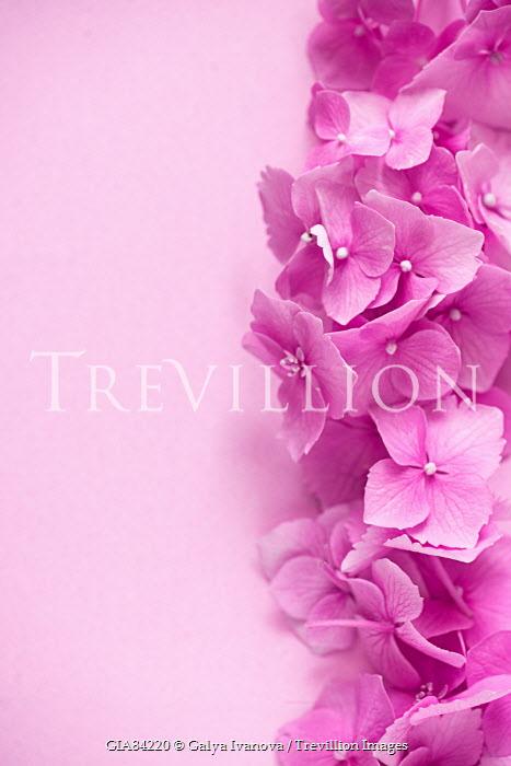 Galya Ivanova BORDER OF BRIGHT HOT PINK FLOWERS Flowers