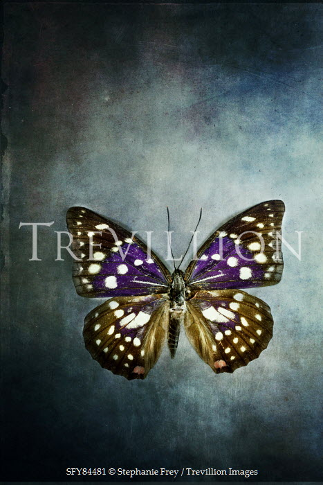 Stephanie Frey PURPLE AND BLACK BUTTERFLY WITH WHITE SPOTS Insects