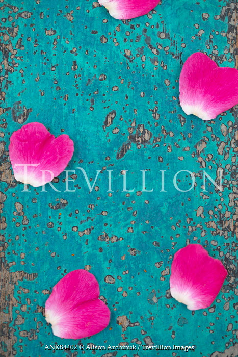 Trevillion images the ultimate creative stock photography alison alison archinuk pink flower petals scattered on blue surface flowers mightylinksfo Choice Image