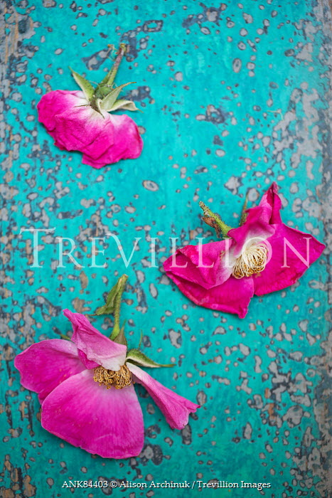 Trevillion images the ultimate creative stock photography alison alison archinuk hot pink flowers on blue wood flowers mightylinksfo