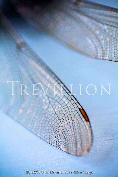 Jan Bickerton CLOSE UP OF DRAGONFLY WINGS Insects
