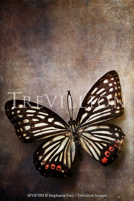 Stephanie Frey CLOSE UP OF RED AND BLACK BUTTERFLY Insects