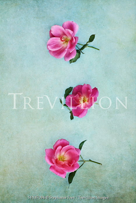 Stephanie Frey THREE PINK ROSES FROM ABOVE Flowers