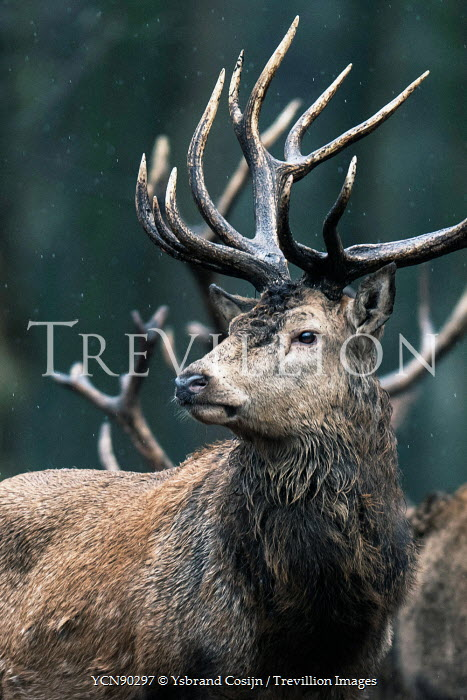 Ysbrand Cosijn CLOSE UP OF STAG DEER WITH ANTLERS Animals
