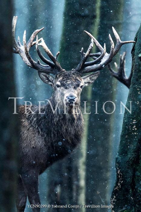 Ysbrand Cosijn CLOSE UP OF REINDEER IN SNOWY FOREST Animals