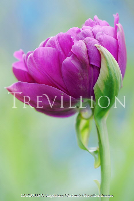 Trevillion images the ultimate creative stock photography magdalena wasiczek pretty purple flower outside flowers mightylinksfo