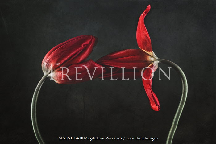 Magdalena Wasiczek RED TULIPS Flowers