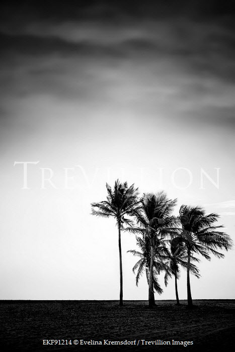 Evelina Kremsdorf PALM TREES IN BLACK AND WHITE Trees/Forest
