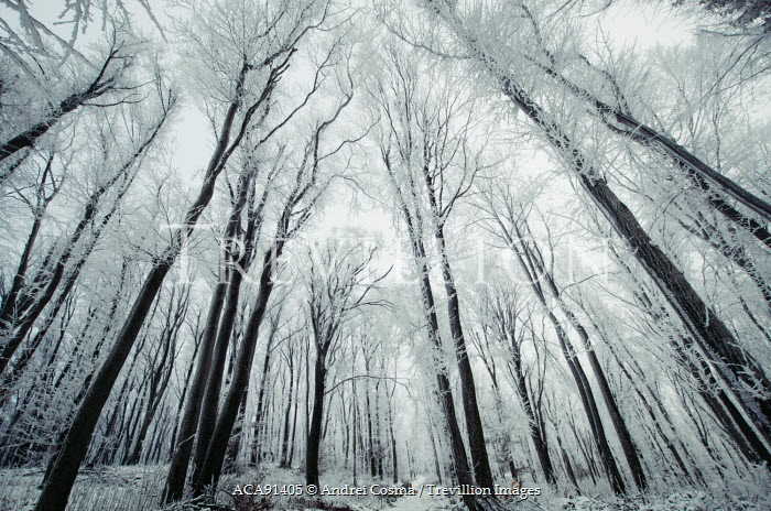 Andrei Cosma WOODLAND IN WINTER Trees/Forest