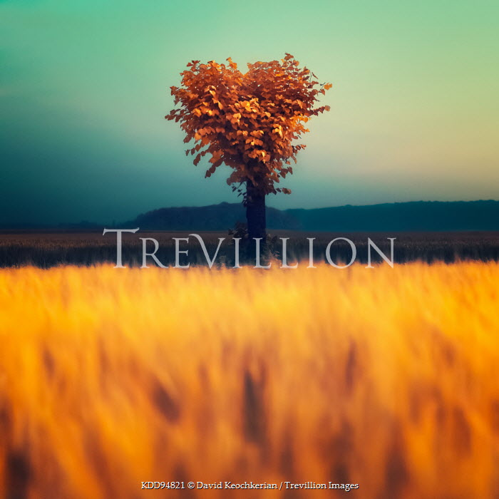 David Keochkerian LONE TREE IN FIELD OF CROPS Trees/Forest
