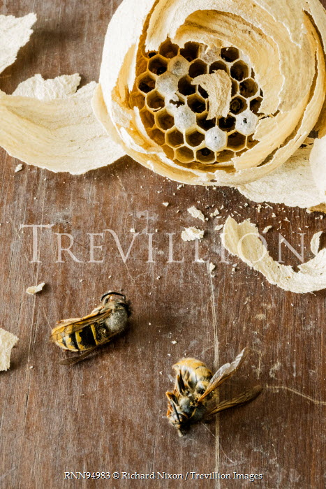 Richard Nixon DEAD BEES WITH HONEYCOMB Insects