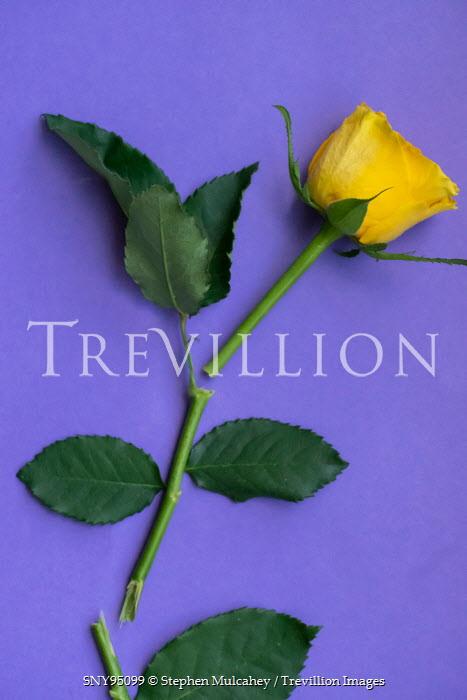 Stephen Mulcahey YELLOW ROSE WITH BROKEN STEM Flowers
