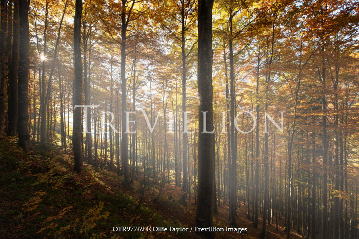 Ollie Taylor SUNLIT FOREST Trees/Forest