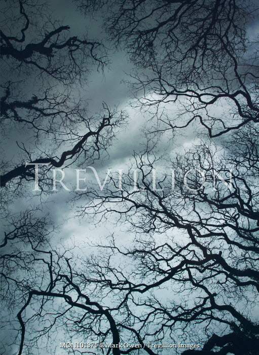 Mark Owen WINTERY BRANCHES AT DUSK FROM BELOW Trees/Forest