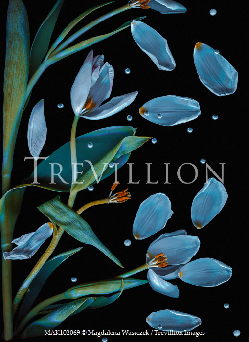 Magdalena Wasiczek FLOATING TULIP PETALS WITH PEARLS Flowers