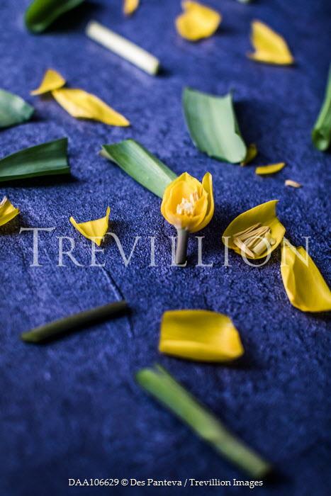 Des Panteva Tulips cut into pieces Flowers