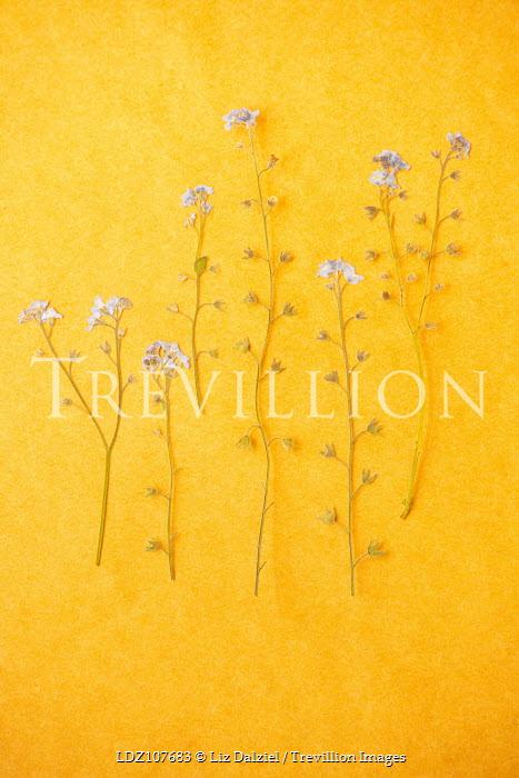 Liz Dalziel pressed white flowers on yellow Flowers