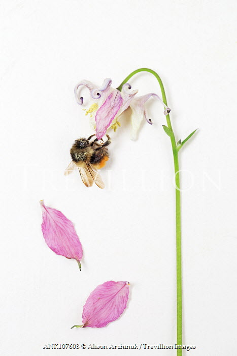 Alison Archinuk BEE ON WILTED FLOWER Insects