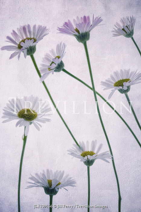 Jill Ferry CLOSE UP OF DAISIES Flowers