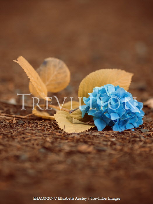 Elisabeth Ansley BLUE HYDRANGEA LYING ON GROUND Flowers/Plants