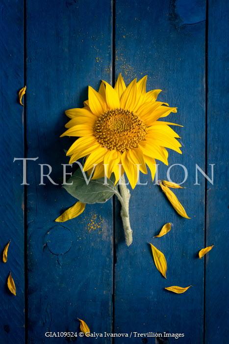 Galya Ivanova Sunflower and fallen petals Flowers
