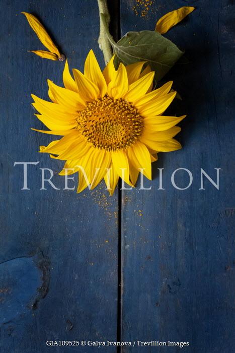 Galya Ivanova Sunflower on blue surface Flowers